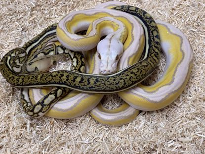 Picture of Albino Anthrax Maker Pair