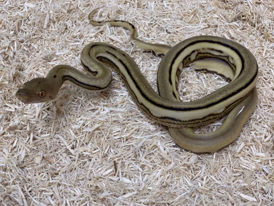 Picture of Female Velvet Reticulated Python